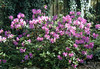 "Azalea Formosa • <a style=""font-size:0.8em;"" href=""http://www.flickr.com/photos/101656099@N05/9736794690/"" target=""_blank"">View on Flickr</a>"