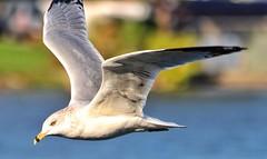 Fly like a seagull (dan.deschenes.56) Tags: seagulls originalfilter