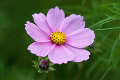 Cosmos (Richard Bradshaw1) Tags: macro fleurs paysages cosmos gardenflowers ef100mm128usm fleursetpaysages