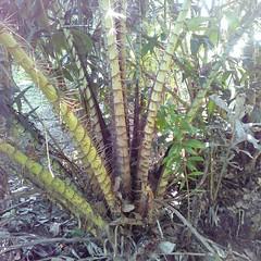 หายเมื่อไหร่จะฌาปนกิจทั้งกอเลย #แค้น #thorn #plant #palm #nature #farm #SalaccaWallichiana #molome