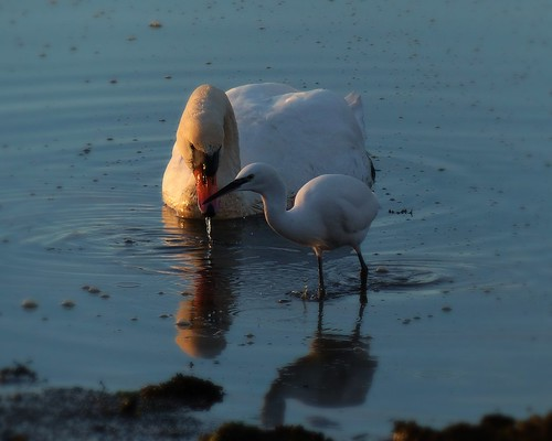 Swan with Little Egret...