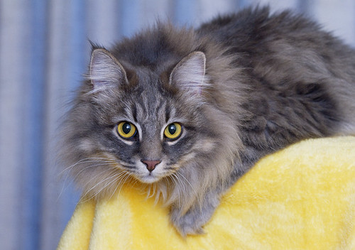 Recent Shot Of Sweet Pea - Maine Coon