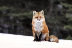 The Watcher (Megan Lorenz) Tags: winter wild snow ontario canada male nature december wildlife whitney fox getty algonquin wildanimals redfox reynard algonquinprovincialpark 2013 naturephotocontest mlorenz meganlorenz