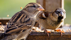 Partners in mischief (Jonathan Saull) Tags: sparrow britishwildlife britishgardenbirds commonbirds olympusomd