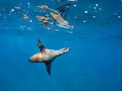 Realm of the Californian sea lion (altsaint) Tags: underwater panasonic sealion seaofcortez m43 gf1 californiansealion 714mm