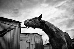 IMGP4660-stavrosstam (stavrosstam) Tags: sky bw horse hand rope thelittledoglaughed artlibres ldlnoir
