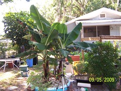 growing bananas in a square foot hydroponic system (square foot hydroponics) Tags: flowers plants orchid flower macro tree green garden square foot gardening silk systems vegetable system bananas hydro growing sustainability floss hydroponics hydroponic hydroculture urbanagriculture hydropond wwwsqfoothydrocom squarefoothydroponics hydrocornrain