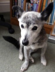 Susie slips into soft focus (Cardedfolderol) Tags: dog pet cute animal fur mammal canine mongrel brindled whippetcross