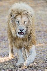 Walking white lion