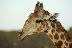 Giraffe Etosha