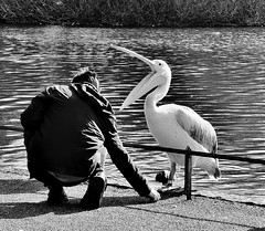 When Pelicans Go Bad ! (jaykay72) Tags: street uk blackandwhite bw london candid streetphotography stjamesspark londonist stphotographia potd:country=gb