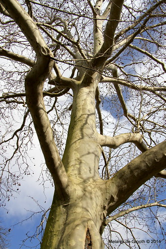 Gnarled Tree 2