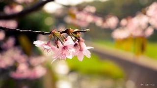 櫻。cherry