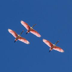 The Pink Angels (**El-Len**) Tags: park christmas pink usa color square us orlando florida fav50 flight wetlands trio triad roseatespoonbill plataleaajaja fav25 fav100 fav75 andromeda50