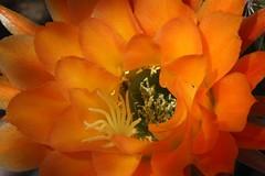 IMG_1387 - Version 2 (chicbee04) Tags: arizona cactus insect tucson sonorandesert pollination southwesternusa insectidentification orangetorchcactus