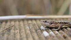 Common Lizard (dusktilldawn13) Tags: wild nature wildlife lizard fen 2014 strumpshaw commonlizard