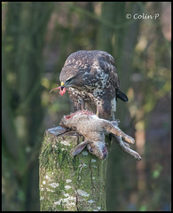 Buzzard (Wild not captive) (Col-Page) Tags: rabbit bird nikon cheshire marton d800 300mmf28 buzzart