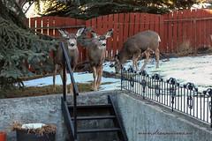 3 Visitors (ECF Calgary) Tags: snow canada calgary backyard deer alberta fawns visitors whitetaildeer dreamviews
