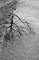 Puddle (gypsyeyesredlips) Tags: street trees blackandwhite canada reflection film nature vancouver 35mm outdoors pentax k1000 suburbs
