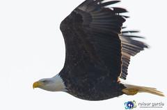 Flight (topmedic) Tags: wild river mississippi eagle wildlife baldeagle sigma iowa prey predator 500mm juvenile hunt leclaire 150500 nikon7000