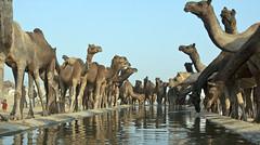 Ships of Desert (me suprakash) Tags: india drinking pushkar camels rajasthan drinkingwater refuelling pushkarcamelfair pushkarcattlefair shipsofdesert