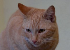 IMG_0408 - Version 2 (Romn Carrin brotons) Tags: gatos rubia tessar tematicas