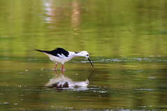 Himantopus himantopus - Echasse blanche - Black winged stilt (eric.guiton) Tags: france bird canon outside tamron oiseau stilt marquenterre somme 70300 baiedesomme himantopushimantopus blackwingedstilt chasse 650d echasseblanche chasseblanche