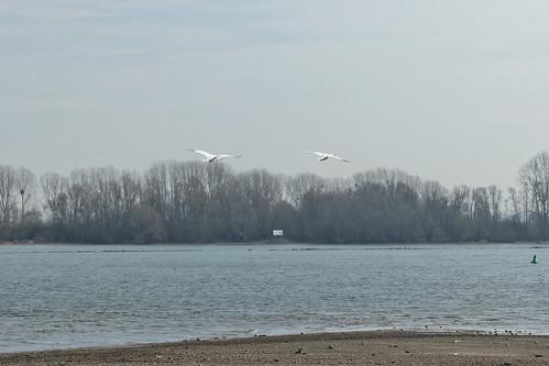 Fliegende Schwäne bei Oppenheim