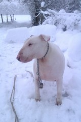 Winter Toby ( 1000 hearts  abby ) Tags: winter dog chien snow hiver neige bullterrier