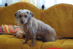 honey (tiffanycsteinke) Tags: wirehair daschund poodle doodle dog funny honey mix dachshundpoodle dachshund wheatonwirehairdachshund