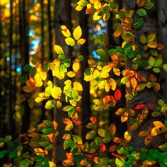 Herbstlaub (blichb) Tags: autumn fall germany square bayern deutschland bavaria laub herbst foliage ammersee 1x1 herbstlaub quadrat breitbrunn fnfseenland canon6d blichb