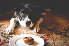 Border Collie and Bagels (odonata98) Tags: dog breakfast canon einstein bagel bordercollie tease matte patience doglover leaveit einsteinbagel