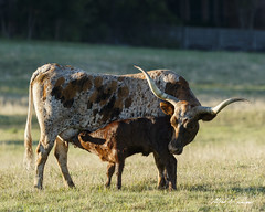 Happy Mothers' Day (Alfred J. Lockwood Photography) Tags: morning nature spring texas cattle longhorn calf mothersday milking bearcreekpark alfredjlockwood