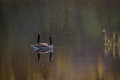 Lets go this way! (PixPep) Tags: lake water mood moody sweden ducks atmosphere sverige vrmland arvika kolsjn pixpep