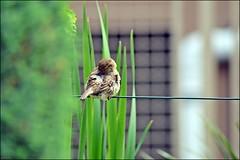 sparrow (franciska_bosnjak) Tags: bird nikon sparrow d3100