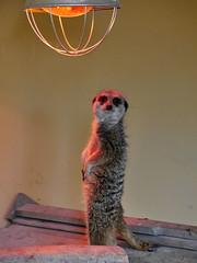 Tantastic Meerkat (Karls Kamera) Tags: park lake lamp animal meerkat district wildlife tan warmth heat tanning