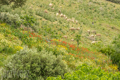 Herding Sheep (Sue_Hutton) Tags: rural spring sheep shepherd morocco maroc poppies wildflowers herd tangier tanger