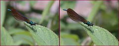 3-D The Beautiful demoiselle damselfly came back #2 (Lord V) Tags: macro bug insect 3d demoiselle damselfly