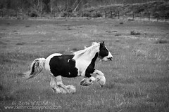 Gypsy Running (black and white) (b_mccarley) Tags: horses horse green field grass animal liberty mare outdoor running run pasture equestrian canter equine draft gallop drafthorse turnout vanner gelding cantering gypsyvanner horsesatliberty horseatliberty atliberty