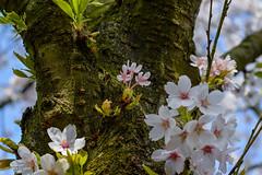 Como uma me (JessykaRosario) Tags: flowers flores flower tree primavera nature colors contrast cherry 50mm spring nikon natural vida contraste beleza lente cerejeiras cerejeira d3200