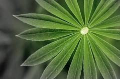 Traumfnger (Rose N. Kohl) Tags: green nature germany deutschland nikon outdoor natur drop grn lupine tropfen morgentau fcher