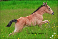 Gucci (PhotOw'graphie) Tags: horse nature animal cheval animaux extrieur chevaux foal poulain