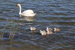 Mama Swan and her offspring (liisatuulia) Tags: swan porkkala kyhmyjoutsen