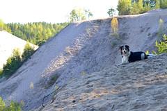 DSC_1662T (juliannahiaasen) Tags: portrait dog pet dogs animal training photography bordercollie australianshepherd dogphotography dogtraining dogportrait dogphotographer