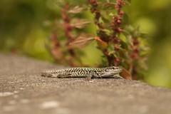 Italian Wall Lizard (Derbyshire Harrier) Tags: wall spring mediterranean reptile lizard stromboli aeolianislands 2016 podarcissicula italianwalllizard lizardofthefields