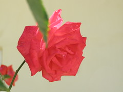(Psinthos.Net) Tags: flowers light sunlight rose wall leaf spring redrose may orangerose     psinthos