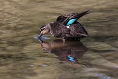 Reflections (crafty1tutu (Ann)) Tags: reflection bird water animal reflections river duck outdoor lagoon richmond hawkesbury anncameron naturethroughthelens crafty1tutu naturescarousel canon7dmkii canon100400seriesiilserieslens
