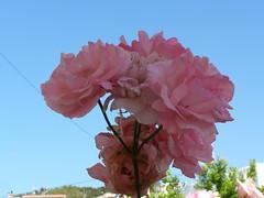(Psinthos.Net) Tags: morning flowers roses sky leaves spring day may bluesky rosebush sunnyday      psinthos