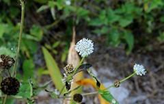 Everglades squarestem  (Melanthera parvifolia) (Florida Birding Trail) Tags: wildflowers threatened