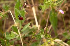 20160514_0089 (mystic_violet) Tags: vienna wien austria sterreich spring beetle meadow wiese ladybird ladybug ladybeetle kfer frhling marienkfer ladybirdbeetle coccinellidae c7 coccinellaseptempunctata siebenpunkt sevenspotladybird sevenspottedladybug nikond3300 darktable